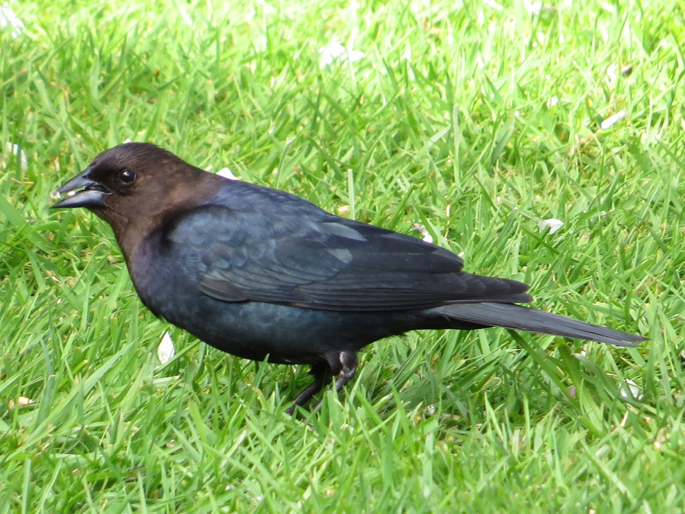 Brown Headed Cowbirds never build nests or raise their own young. Males typically arrive on the BC coast before the females who arrive a week or so later. Females will lay eggs in other birds' nests and leave the rearing to them.