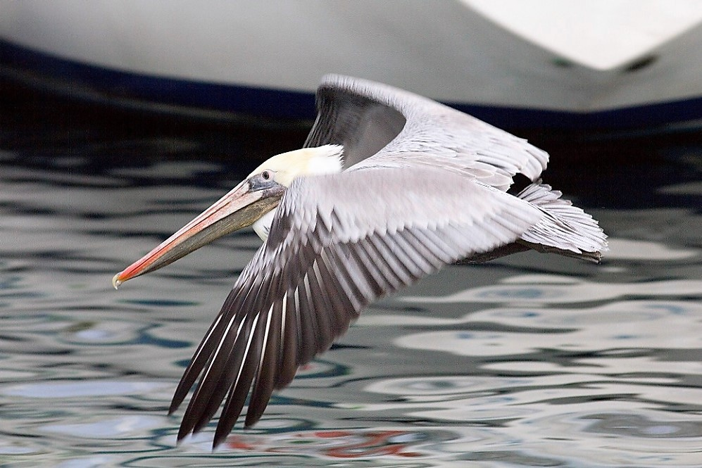 The brown pelican is a large dark brown bird with whitish yellow necks and black feet and legs. They have a very large, hooked beak equipped with a huge pouch.
