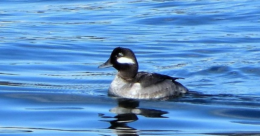 Bufflehead Duckss are small black and white diving ducks with small gray bills. They have a white patch on the side of their round heads and have white patches on their wings that are visible during flight.