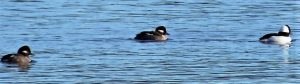 Male bufflehead Ducks often make a loud chattering noise or growl when courting. Buffleheads mate and breed for the first time during their second year. They form pairs in the winter and unlike most ducks, usually keep the same mate for years.