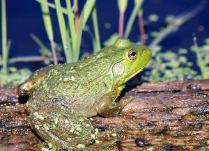 The Bullfrog is a very large invasive frog that eats everything that can fit into its mouth
