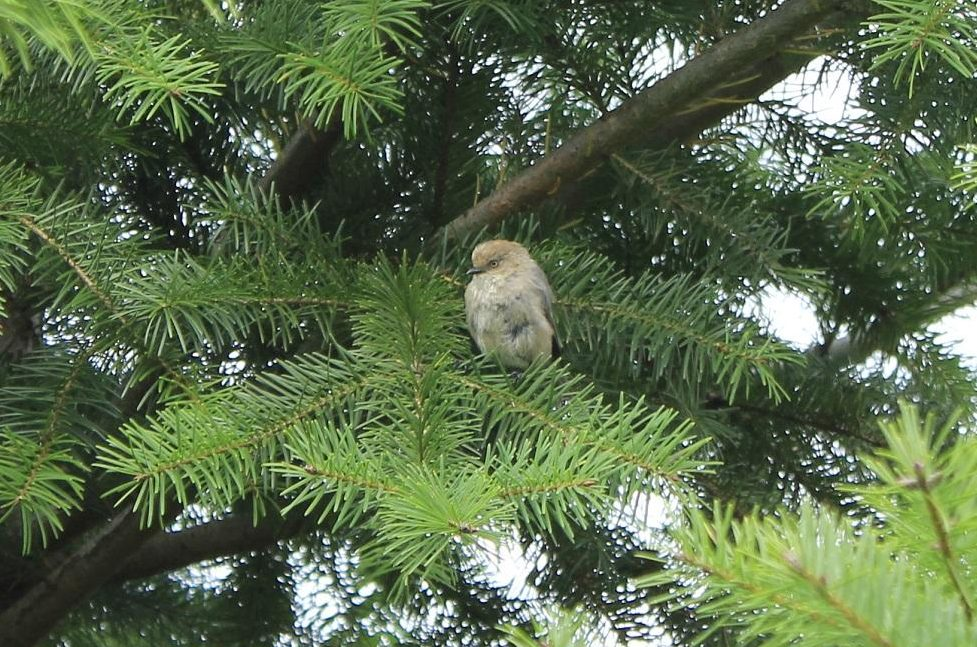 A small gray bird of western North America. The common Bushtit is 11 cm long, and ranges from southern coast of British Columbia to Guatemala.