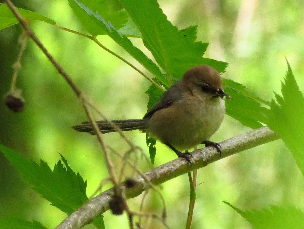 You can attract bushtits to your yard by hanging beef suet in a wire frame, they will eagerly feed by the dozens on this.When feeding on suet, you can approach them quite closely and have a good close up look at them.