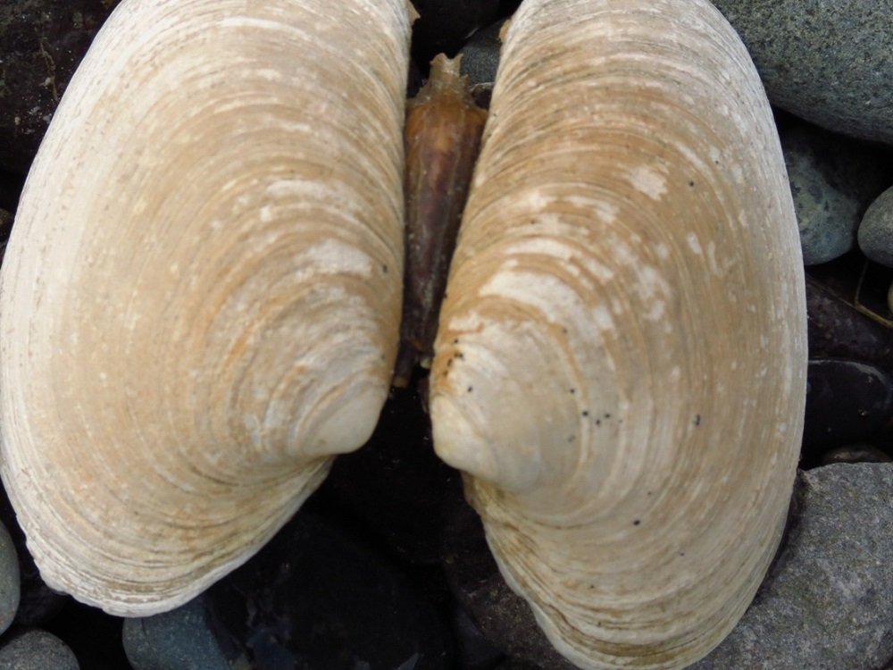 Butter clams occur from the Aleutian Islands in Alaska to Northern California, and they are quite common throughout pacific northwest coastal regions wherever suitable conditions occur