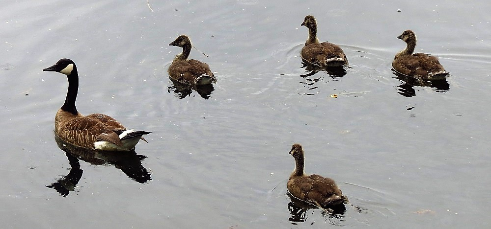 Some Canadian Geese will nest along our coast.