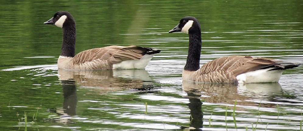 Canadian Geese are very common here on the coast during the winter months