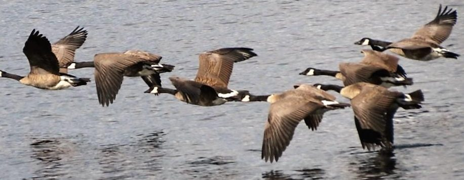 When migrating, the Canada goose V formation makes it easy to recognize them at a glance.