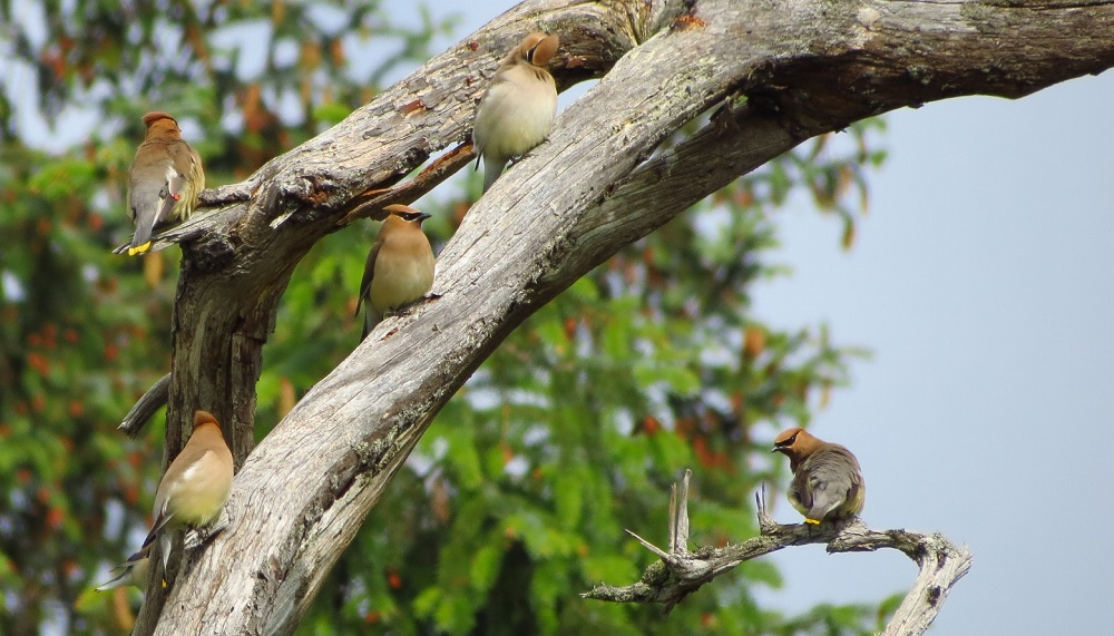 Cedar waxwings are voracious eaters dining primarily on fleshy fruits with high sugar content. Cedar waxwings are especially fond of berries and have even been observed to sit in a row on berry bushes passing berries between one another.