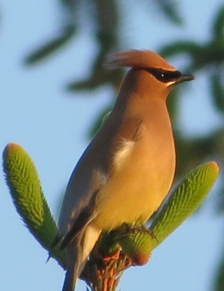 The cedar waxwing is a dark brown bird with a pale brown crest and black eye patches and chin. Its head is pale brown and gradually fades to pale yellow towards its belly. It has a black tail with a yellow tip and white under tail coverts.