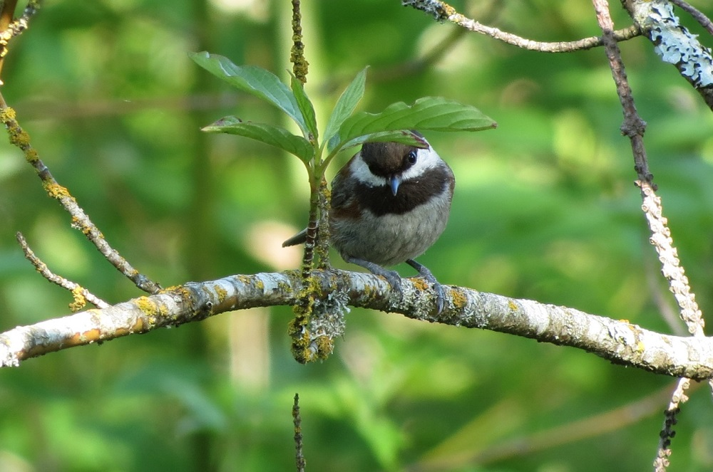 The Chestnut Backed Chickadee get their food by foraging. They hop along tree branches and pick the surfaces and probe crevices in order to find food.