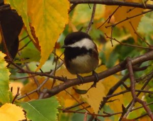 The Chestnut Backed Chickadee is a frequent visitor to our feeders on Vancouver Island and are a joy to interact with. They sometimes look comical when they land on a branch close to you and turn their heads almost upside down all the while calling with the cheep cheep cheep call.