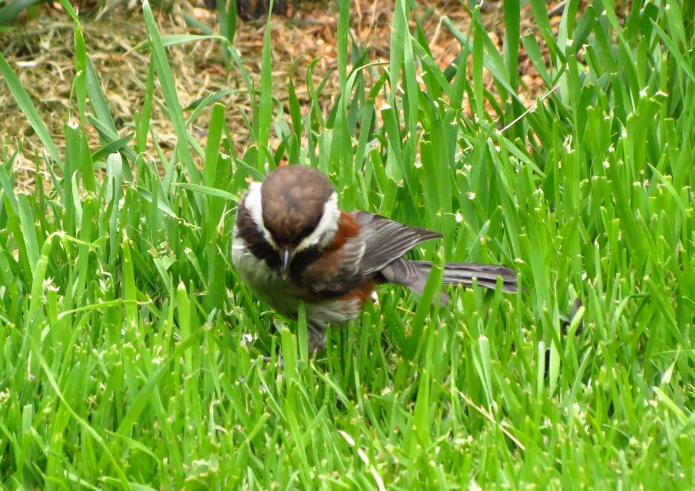 The Chestnut Backed Chickadee get their food by foraging. They hop along tree branches and pick the surfaces and probe crevices in order to find food. They are often seen hanging upside down from tree branches in order to get to the food found on the branches' underside.