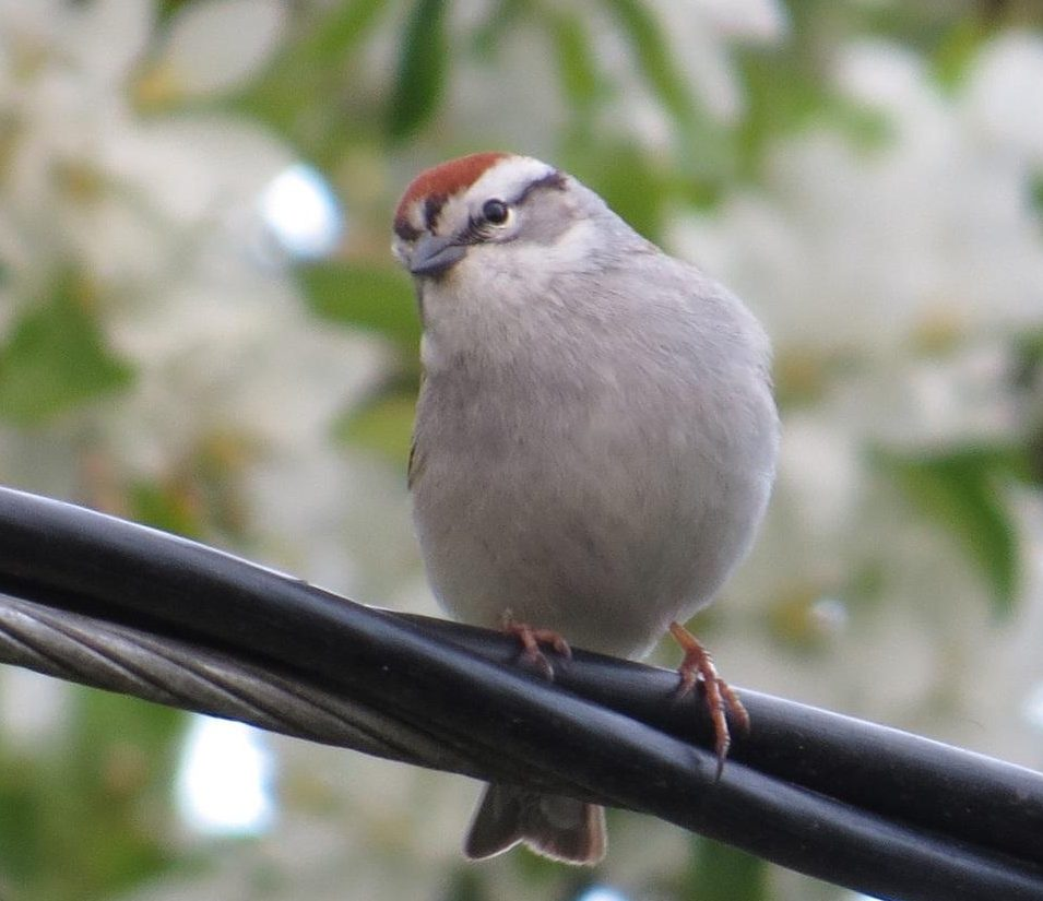 The Chipping Sparrow is a small sparrow with a tail that is slightly notched. During the breeding season, the chipping sparrow has a chimney red colored cap