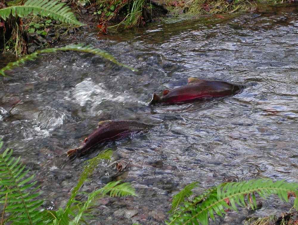 Coho salmon usually live for three years and grow rapidly in their final year. They weigh between 1.3 kg and 14 kg.