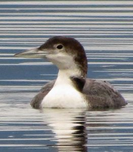 The common loon prefers to eat small fish up to 25 cm long, but will also eat crustaceans, mollusks, aquatic insects, leeches, and even frogs