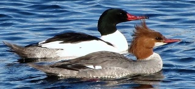 The common merganser is a beautiful duck, it is a freshwater diving duck, feeding mostly on fish but will also take insects, mollusks, crustaceans, worms, frogs, small mammals, birds and plants.