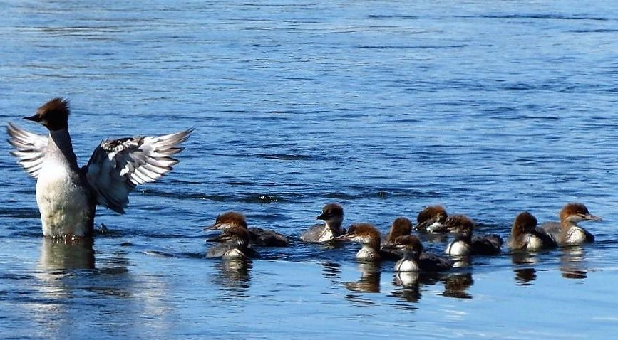 Once hatched, the young Common Merganser Ducks remain in the nest for a day or two before leaving with the female.