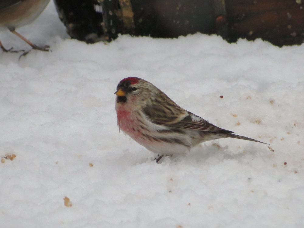 The Common Redpoll is a fairly small bird that is usually found in open subarctic coniferous forest and scrub during the breeding season. In winter it favors open forest, overgrown fields and urban areas.