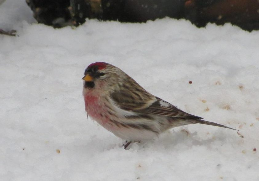 The common redpoll feeds on a variety of small seeds such as birch, willow, alder, grasses and weeds.