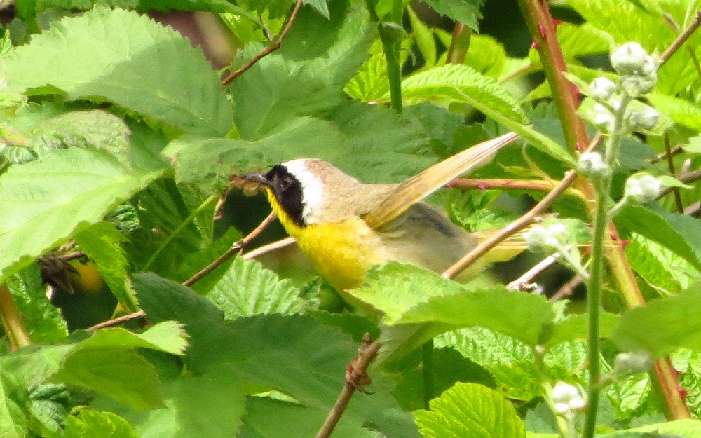 Common Yellowthroat eat mostly insects and spiders, caterpillars, including tent caterpillars, grasshoppers, dragonflies, beetles, butterflies and aphids. They do a good job keeping pest insects in check. They do eat some seeds.