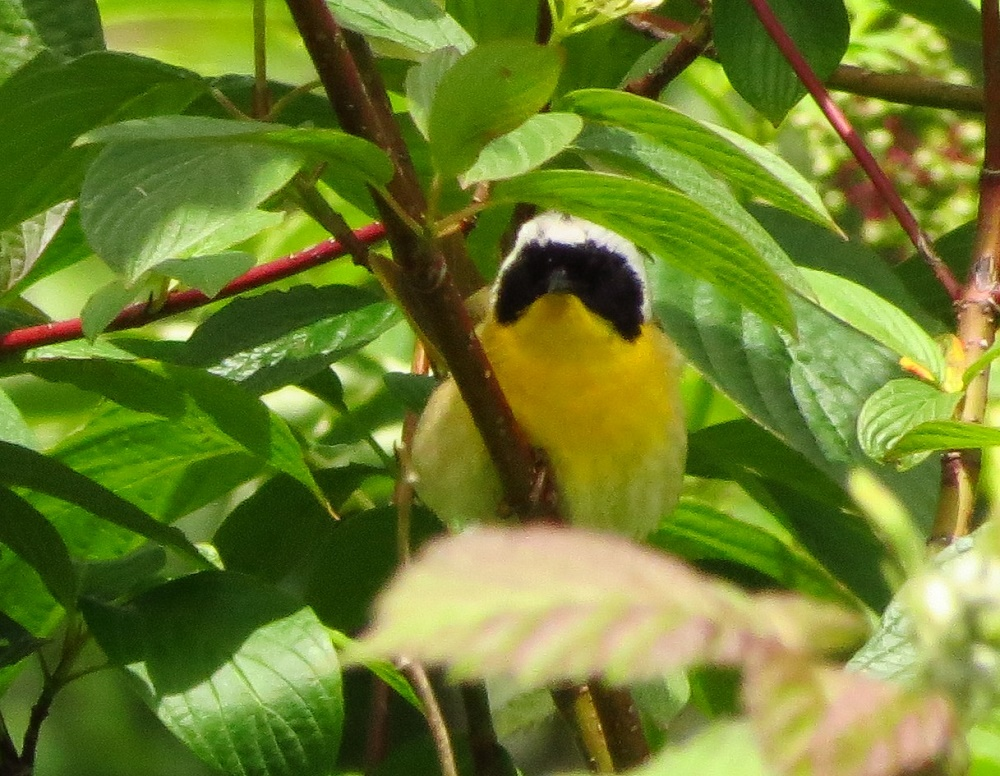 The Common Yellowthroat is a small bird, growing up to 15 cm in length. They have olive brown bodies with bright yellow throats. Males have a dark black mask.