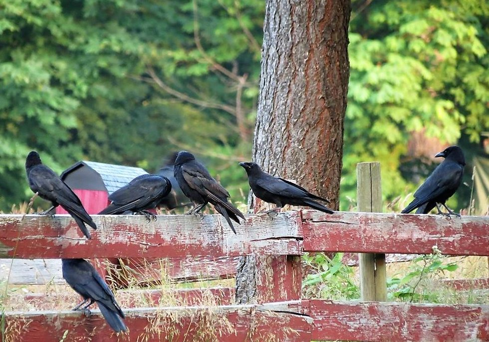 Many birders believe that the Northwestern Crow is not a true species, but rather, a subspecies of the American crow.