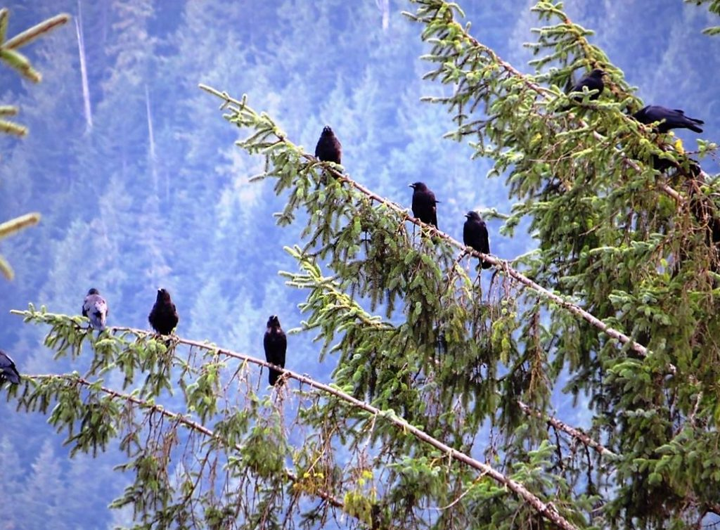 Crows, BC