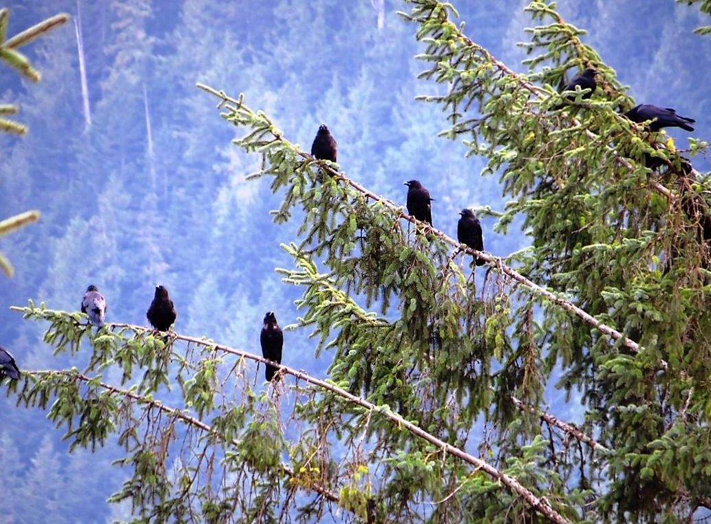 The Northwestern Crow is a large black bird with long, solid bills. You can tell them apart from the common raven by their smaller size, slightly rounded tails and high pitched voices.