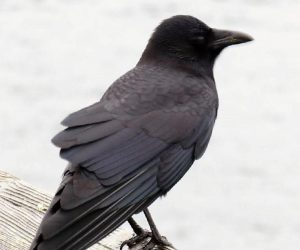 Northwestern crows are large land birds. You can tell them apart from the common raven by their smaller size, slightly rounded tails and high pitched voices.