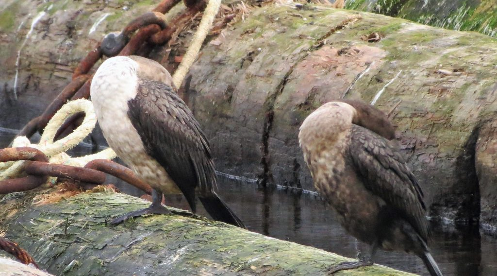Double crested cormorants occupy many water habitats across North America