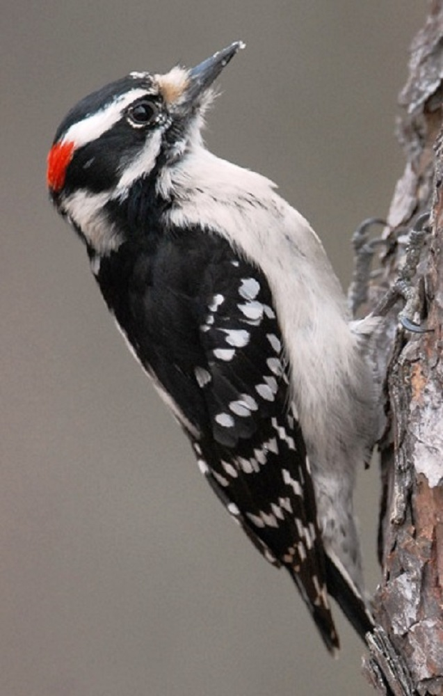 The downy woodpecker likes to feed on insects and larvae found on infested trees. They also eat berries and seeds and feed on suet in winter. In winter downy woodpeckers do not cache food and instead spends most of its daylight hours drilling holes in trees to get at the insects that are wintering there