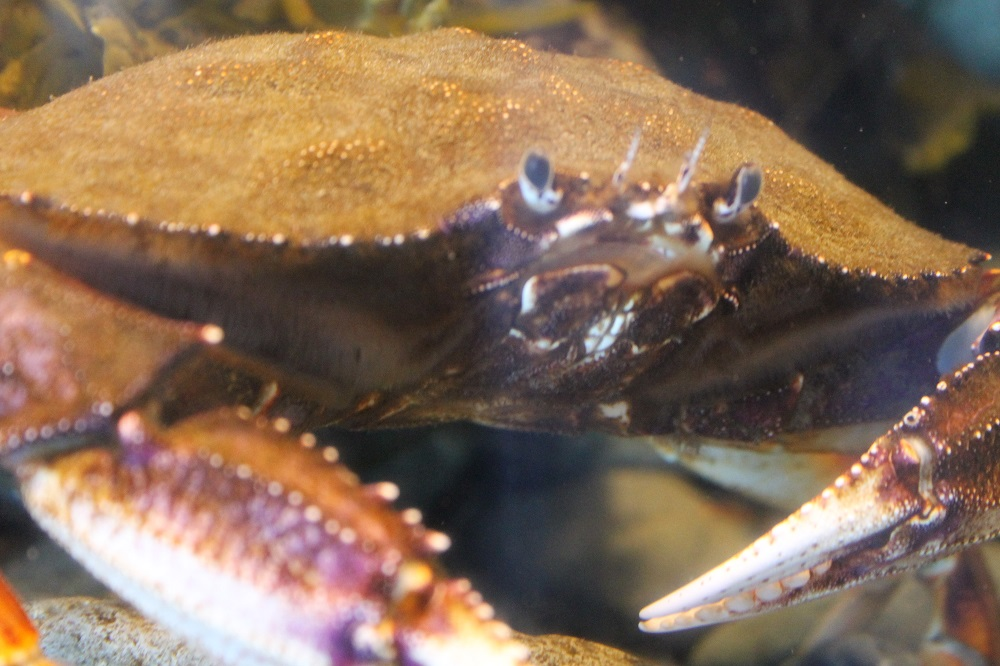 Dungeness crabs are typically light brown in color. These creatures have one pair of claws and four pairs of walking legs. Their claws are serrated and so are the edges of their shells from the eyes down to the middle of the body.