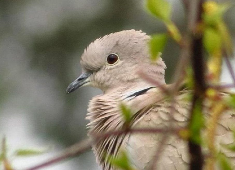 The Eurasian collared dove likes agricultural areas, and can be found in residential and urban area feeders.