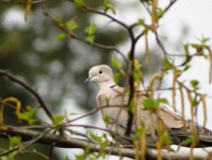 There is a black crescent on the back of the neck of the Eurasian collared dove.