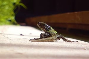 The European Wall Lizard can be found in only a few locations in the pacific northwest