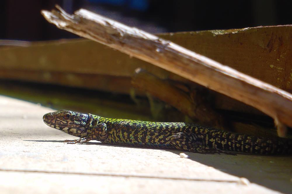 The European Wall Lizard can be found in only a few locations in the pacific northwest, Victoria has many of them