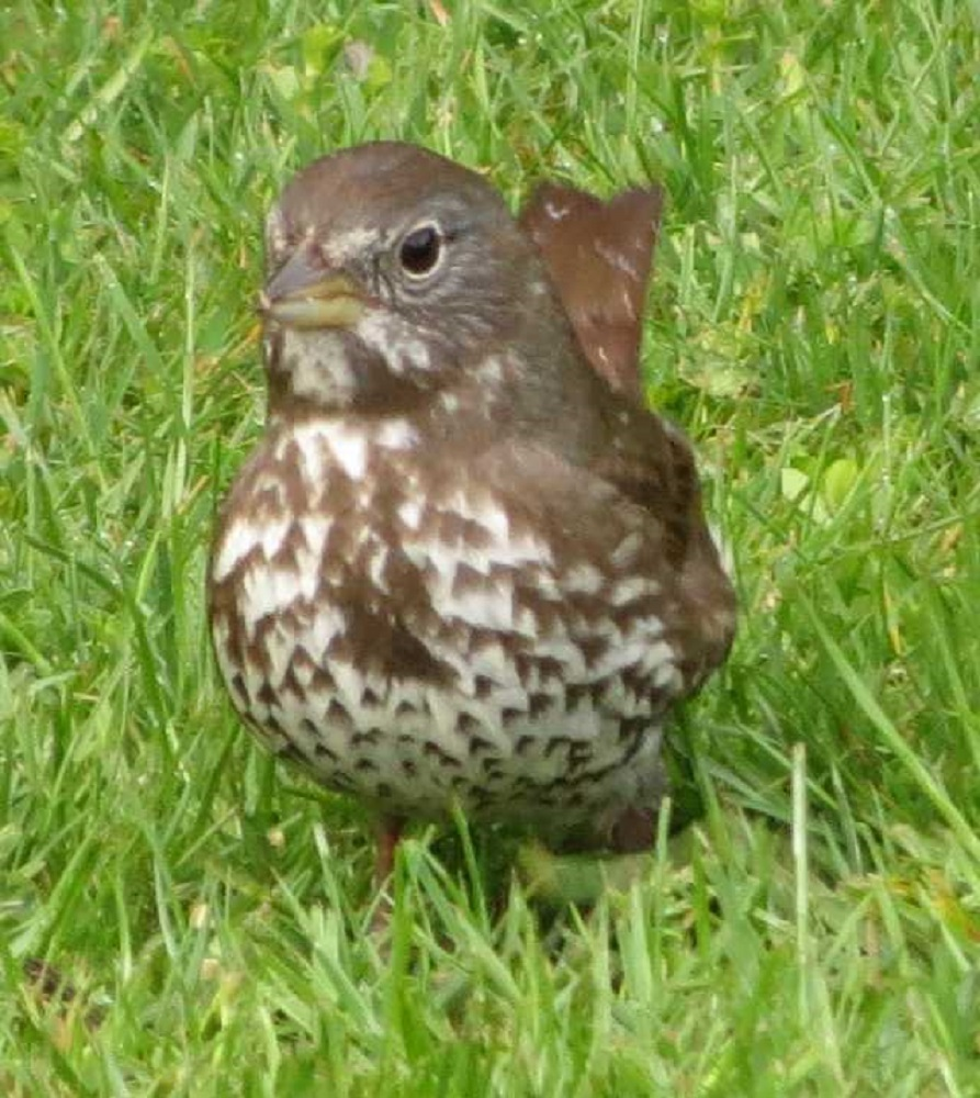 When foraging, the fox sparrow will often feed on the ground using the double scratch method, kicking backward with both feet with such force as to create a hole in the ground to expose food items.