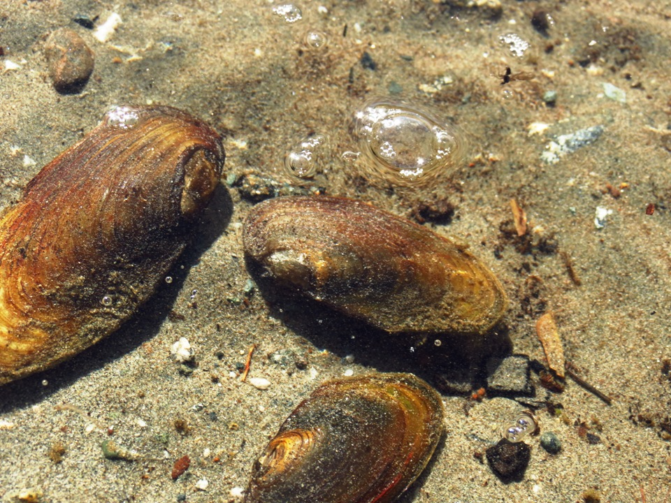 Some freshwater fish that come in the form of mussels