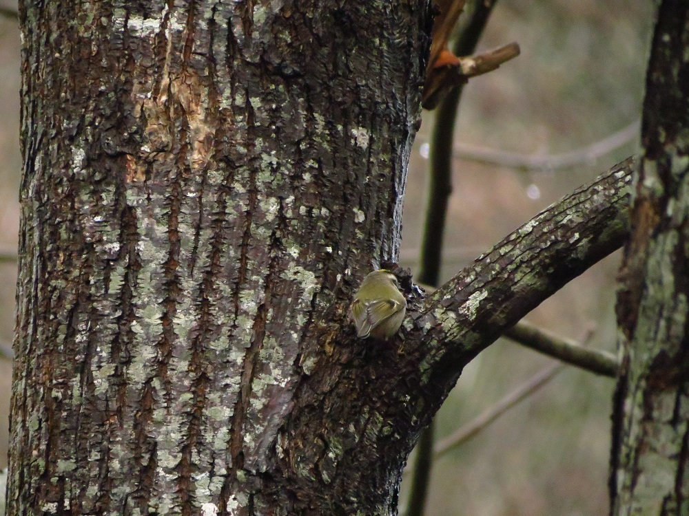 The golden crowned kinglet is an important predator on pest insects and their eggs, especially in coniferous forests.
