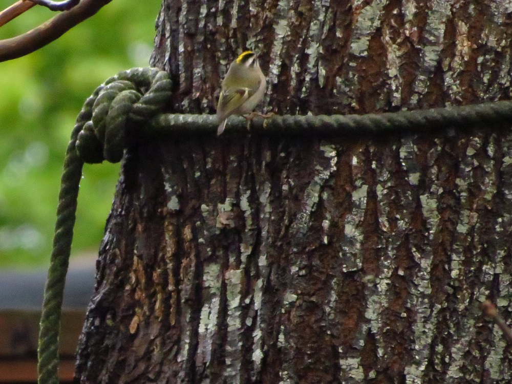 Golden crowned kinglets are important predators on pest insects and their eggs, especially in coniferous forests. Insect foods consist of aphids, bark beetles, scale insects and other insects found in coniferous trees.