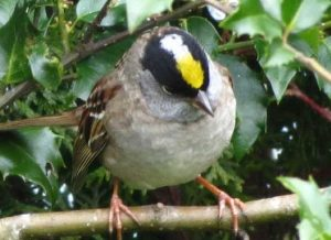 The golden Crowned Sparrow is a wonder to watch in the winter at my feeders on the coast of BC. Sometimes they come in the hundreds.