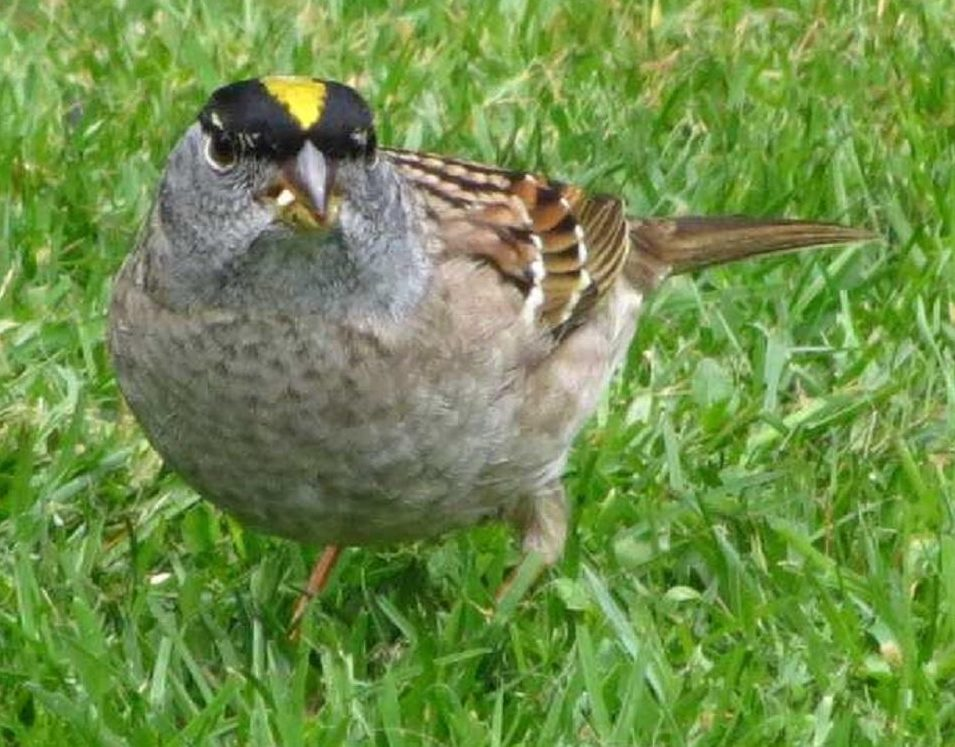 The golden crowned sparrow has bright breeding plumage with a bright yellow crown flanked with bold, black bars.