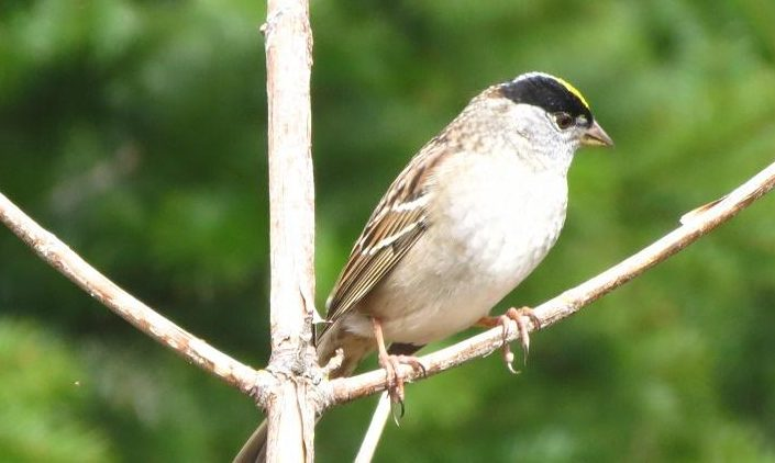 The male Golden Crowned Sparrow stakes and defends a territory, he attract a potential mate by singing his heart out from a high perch.