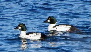 The Common Glodeneye Ducks are named for their golden colored eye. Adult males have a dark head with a greenish gloss and a circular white patch below the eye, a dark back and a white neck and belly.