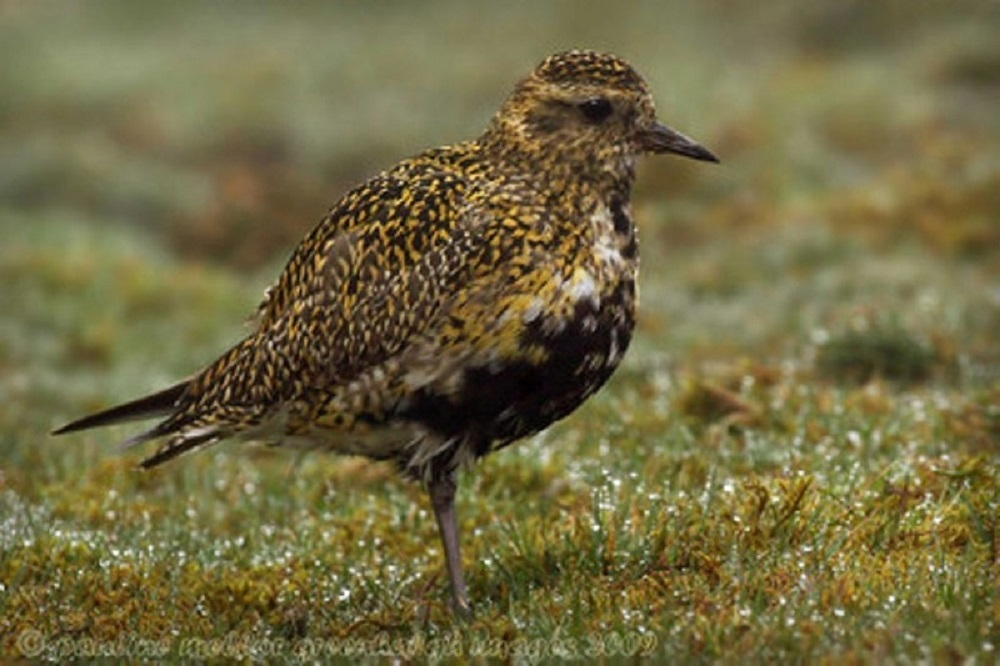Pacific Golden Plover are among the prettiest of waders that can be seen on the beaches of BC.
