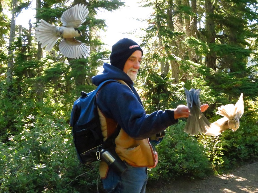 The Gray jay is found primarily in mature, humid, sub alpine, spruce forests. They do not generally breed below 750 meters, and are most often found from 1000 meters and above to the tree line. Vancouver Island has a very large population of them.