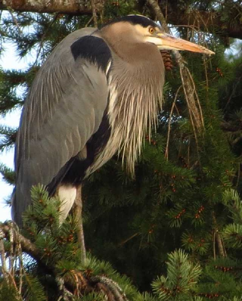 The Great Blue Heron resides along lakes, ponds, rivers and marshes from coastal Alaska, B.C. coast all the way to Mexico on the west coast.