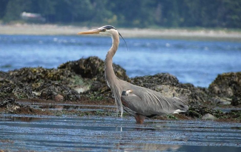 Great Blue Heron, BC Coast