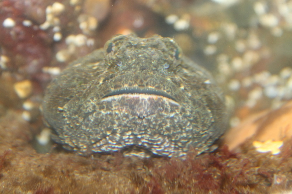 The great sculpin is a dark olive green on the dorsal surface with four dark blotches along the back. The belly is often pale to a light yellowish color, but not always, i have seen them with an almost black belly.