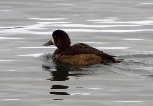 The Greater Scaup Ducks dive to feed on aquatic plants and animals. In coastal areas, mollusks constitute the principal diet items. In freshwater habitats, seeds, leaves, stems, roots and tubers of aquatic plants are important items.